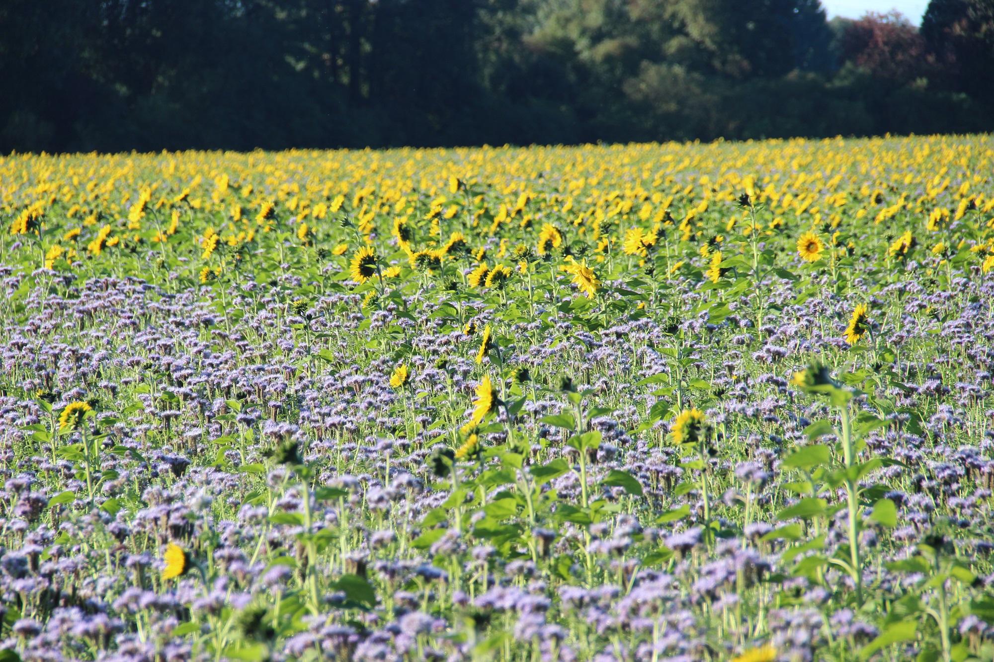 Zum Erhalt der Artenvielfalt und zur Unterstützung für die Bienen haben wir ca. 20ha Blühflächen im Anbau.